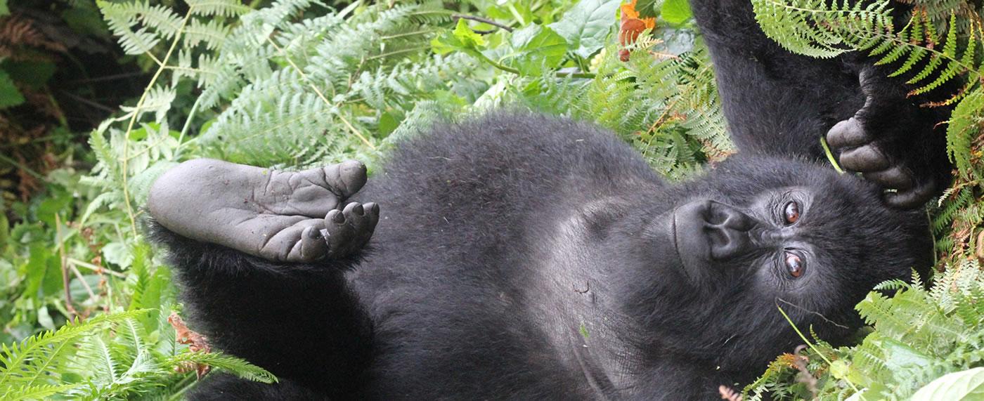 Gorilla Journey to Rwanda