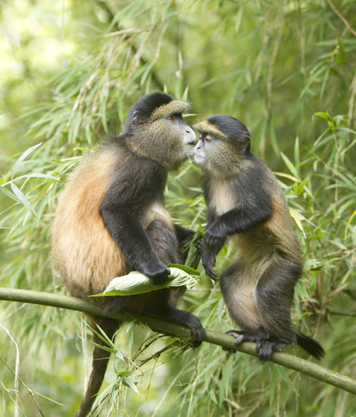Playful Golden Monkeys