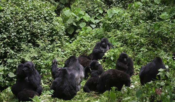 Endangered Gorillas in the African Jungles