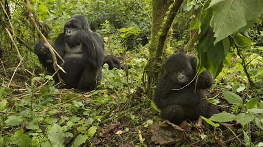 Mountain Gorillas in Volcanoes National Park Rwanda