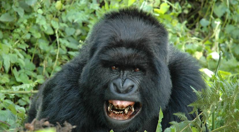 Gorilla Tourism Rwanda