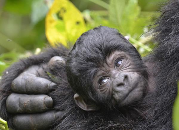 Cute Baby Gorilla in Uganda