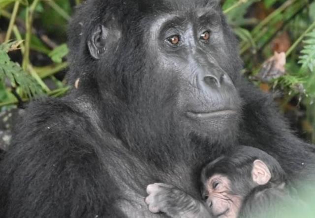 Baby Gorilla Born in Uganda