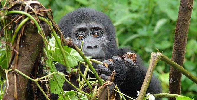Gorilla Trek Uganda and Rwanda